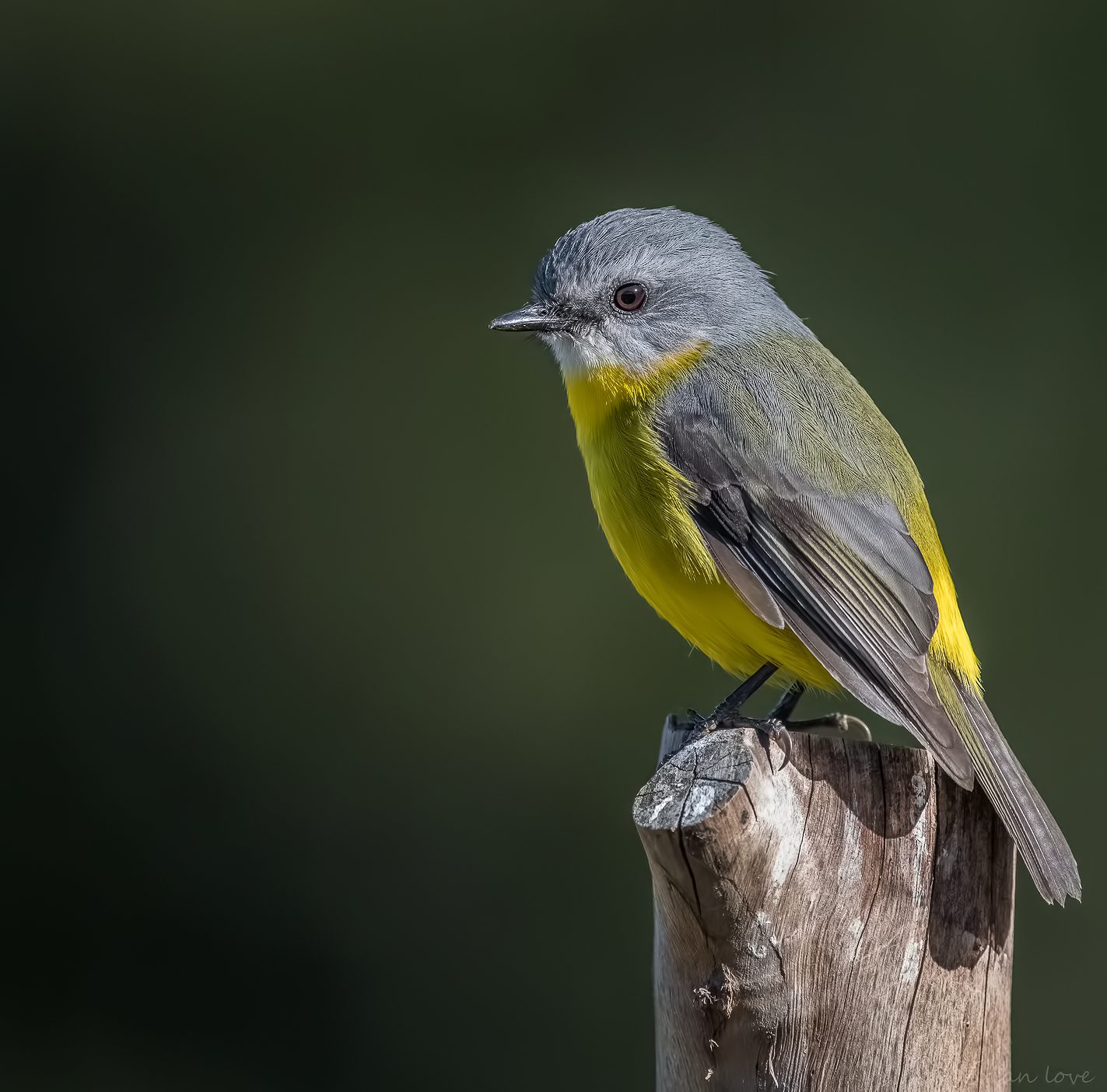 Eastern yellow robin (Eopsaltria australis)...