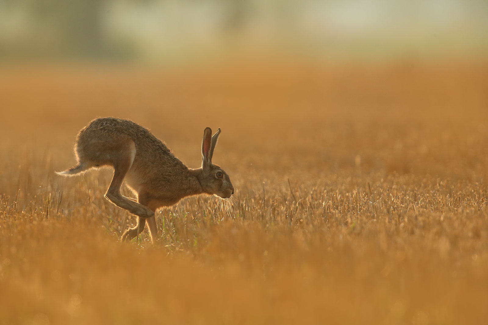 European Hare...