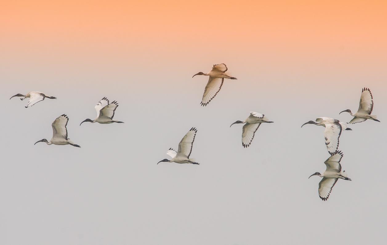Ibis at sunset...