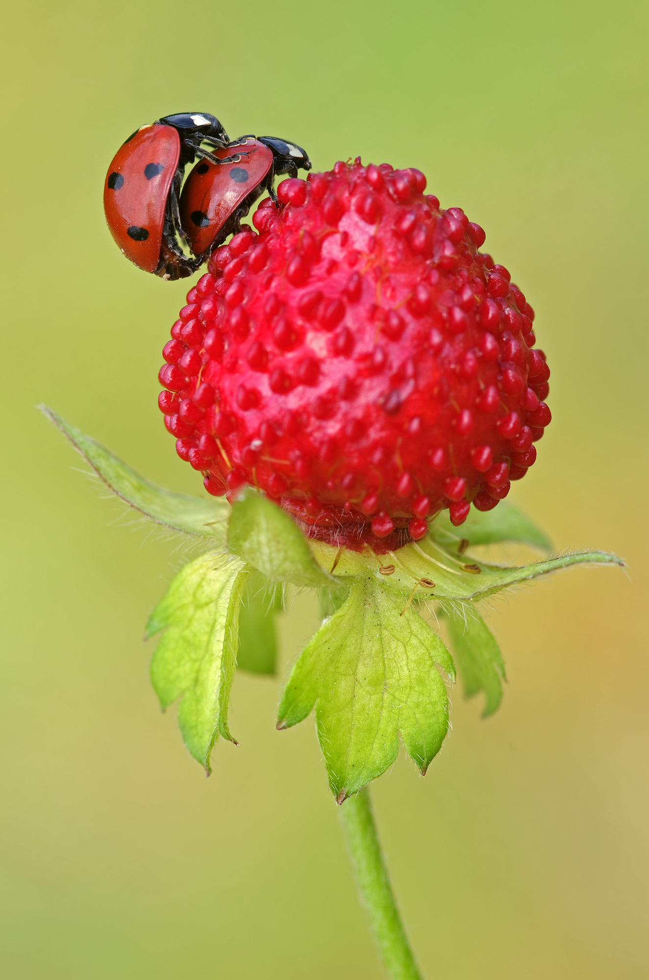 Ladybugs on Fake Strawberry...