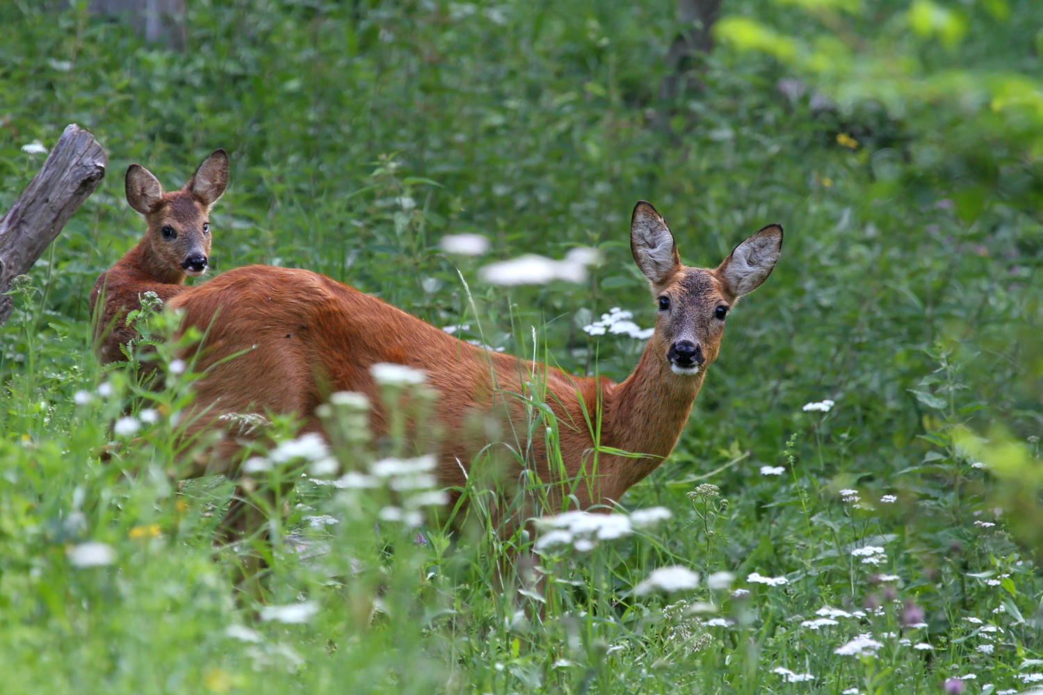 Female roe deer with small...
