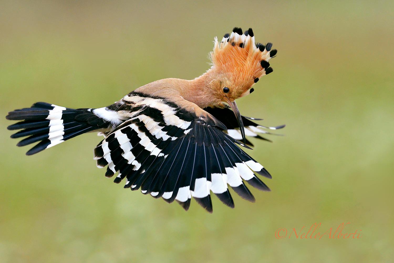Hoopoe in reconnaissance flight ...