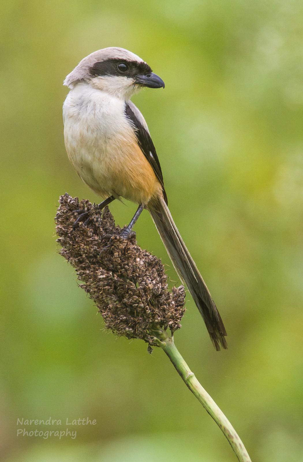 Long tailed Shrike...
