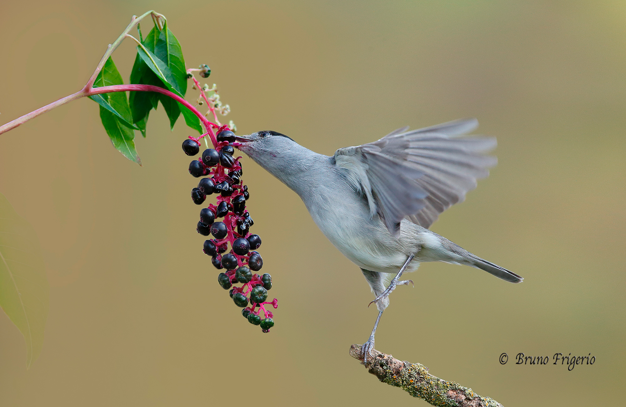 Blackcap and Phyolacca...