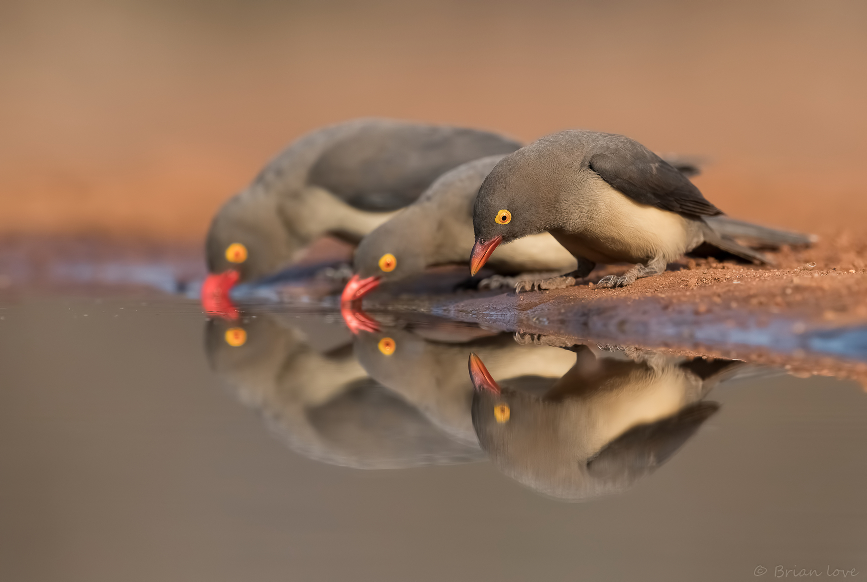 Red-billed oxpecker (Buphagus erythrorhynchus)...