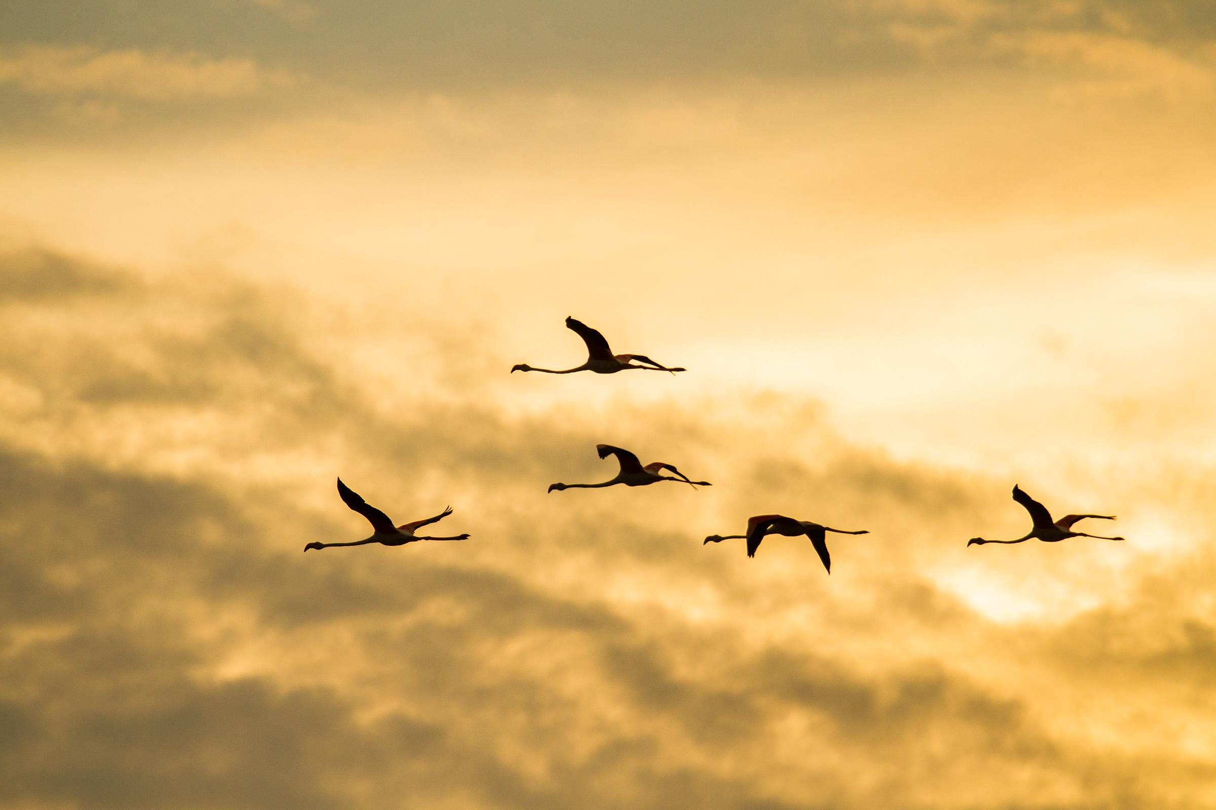 Flamingos at sunset ...