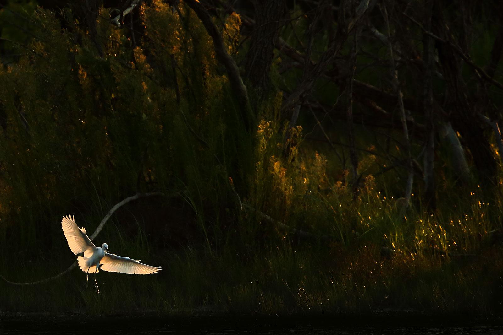 Little Egret...