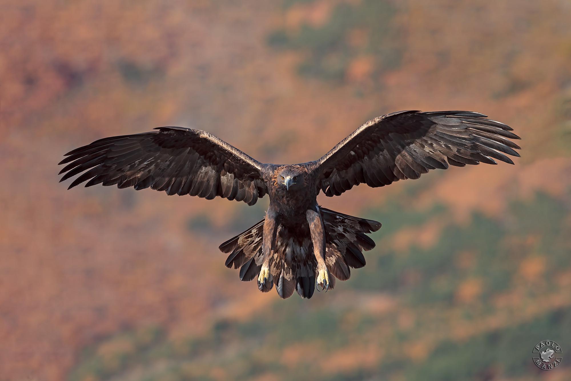 Royal Eagle-Golden Eagle-Eagle Chrysaetos...