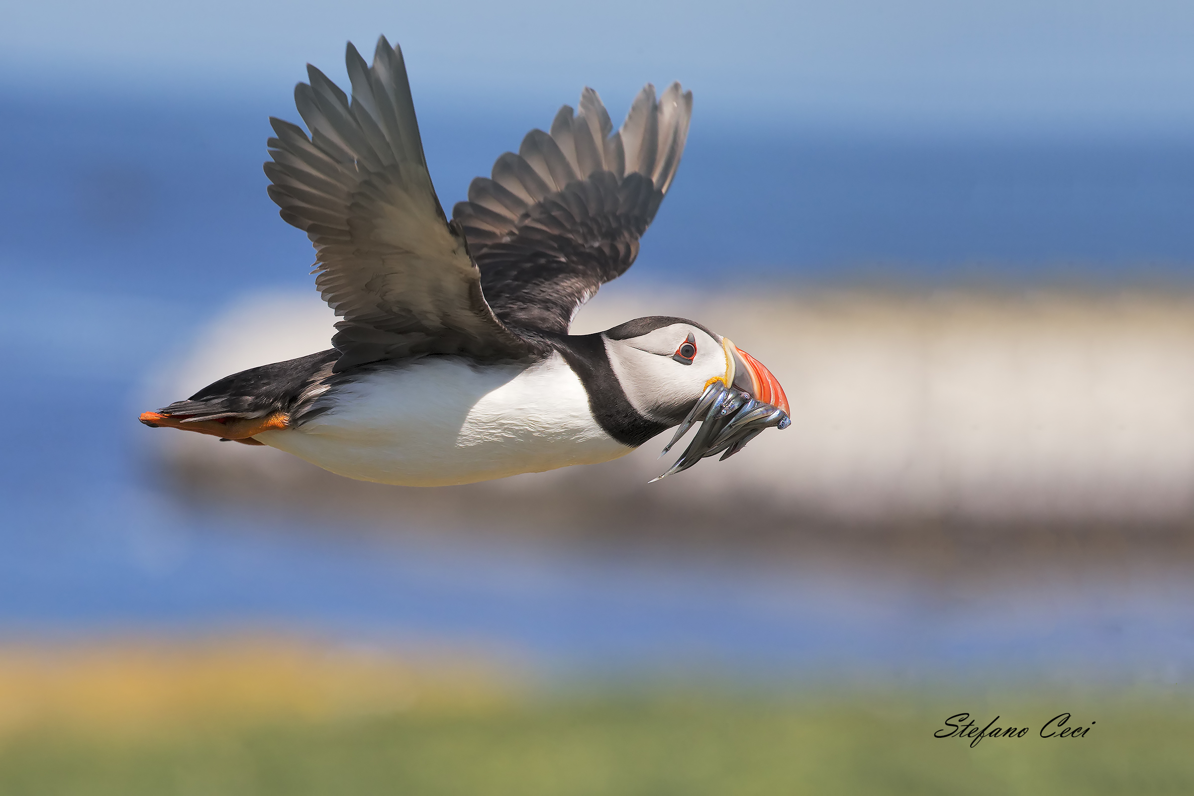 Puffin of the Sea...