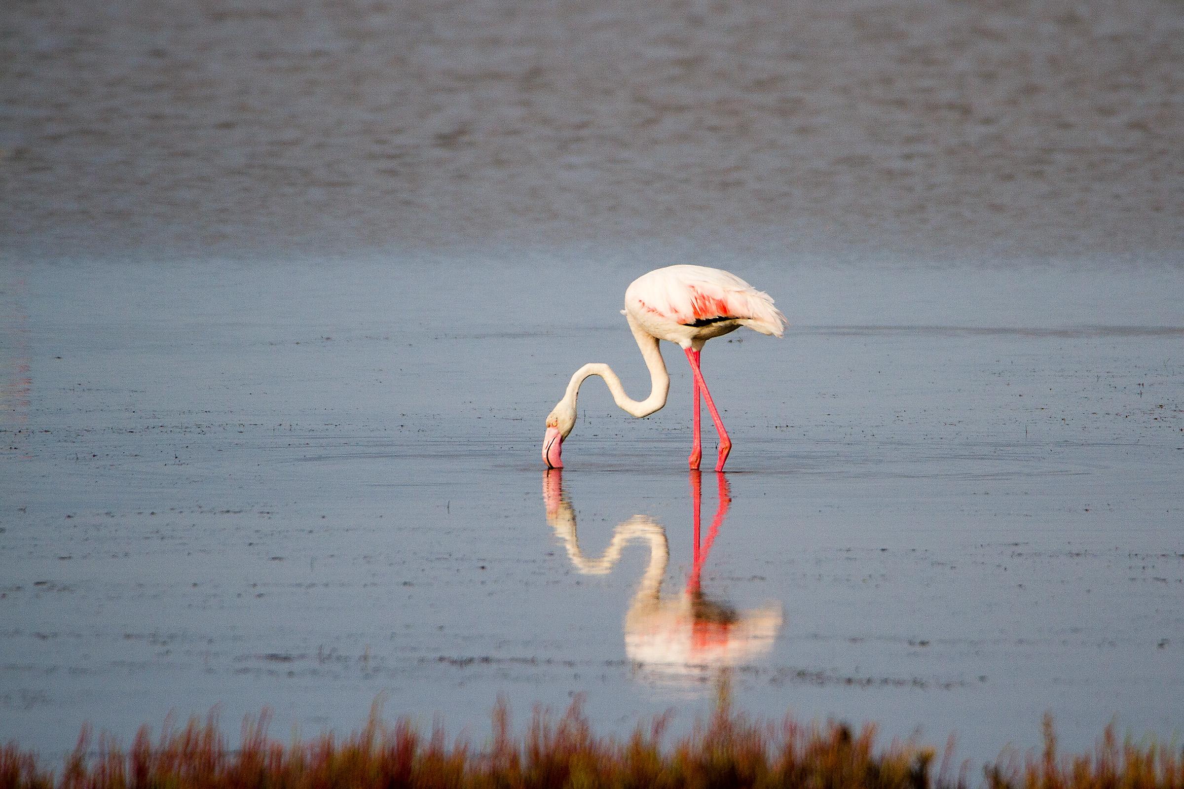 Flamingo in the Mirror...