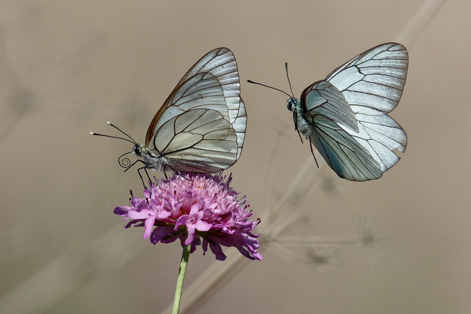 The wings of love-pair of Aporia Crataegi ...