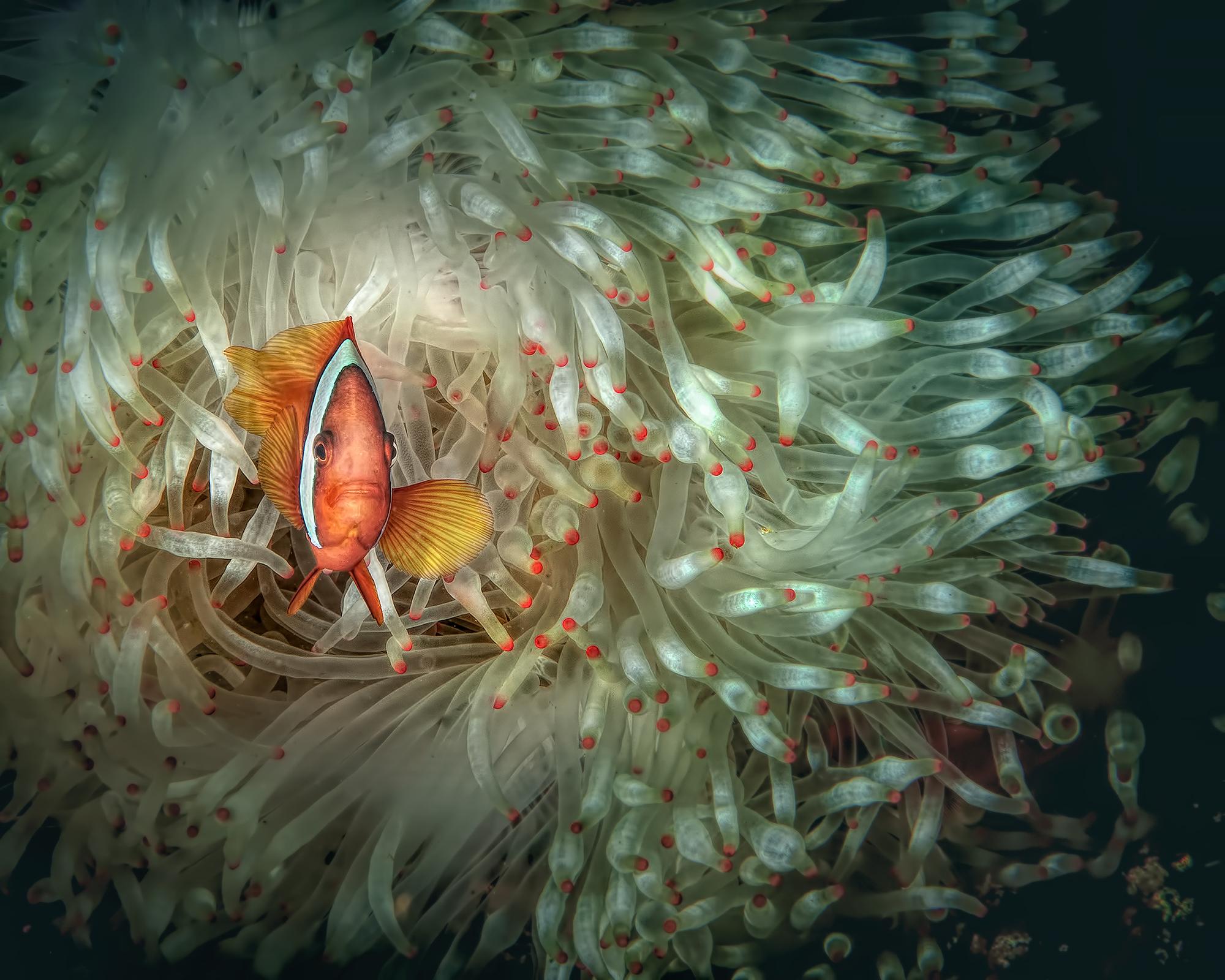 Clownfish & White Anemone ...