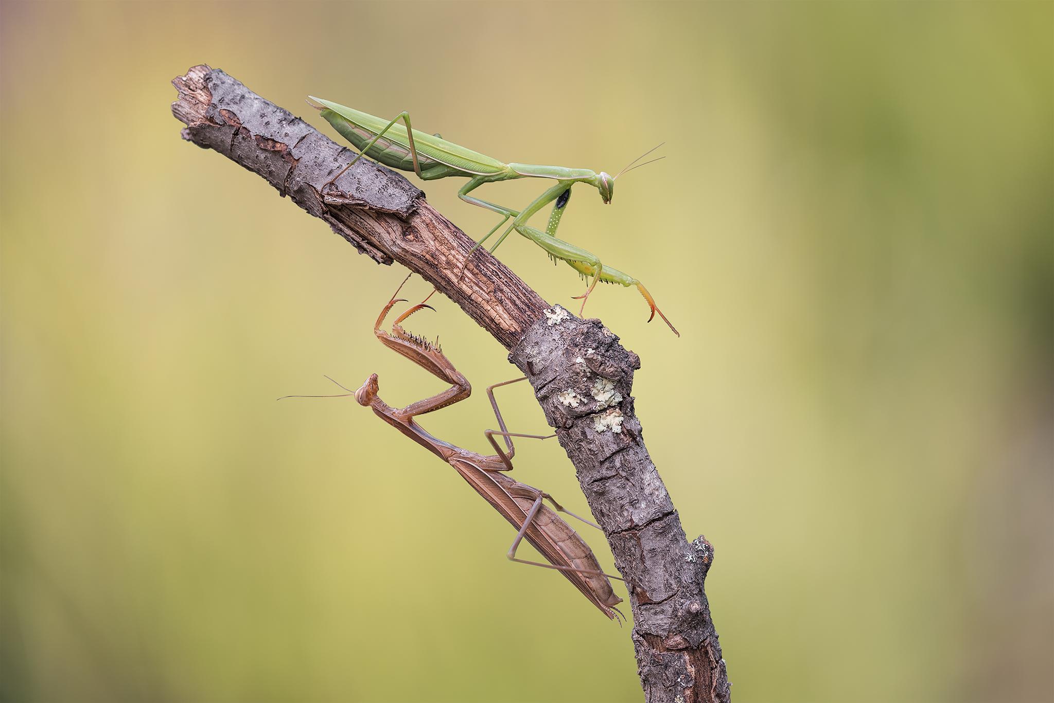 Praying Mantis...