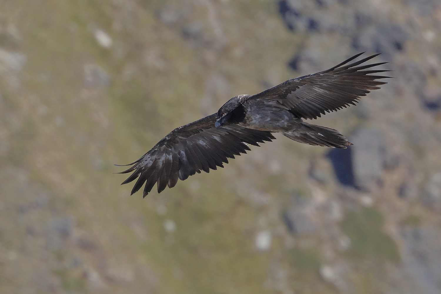 Young bearded Vulture....