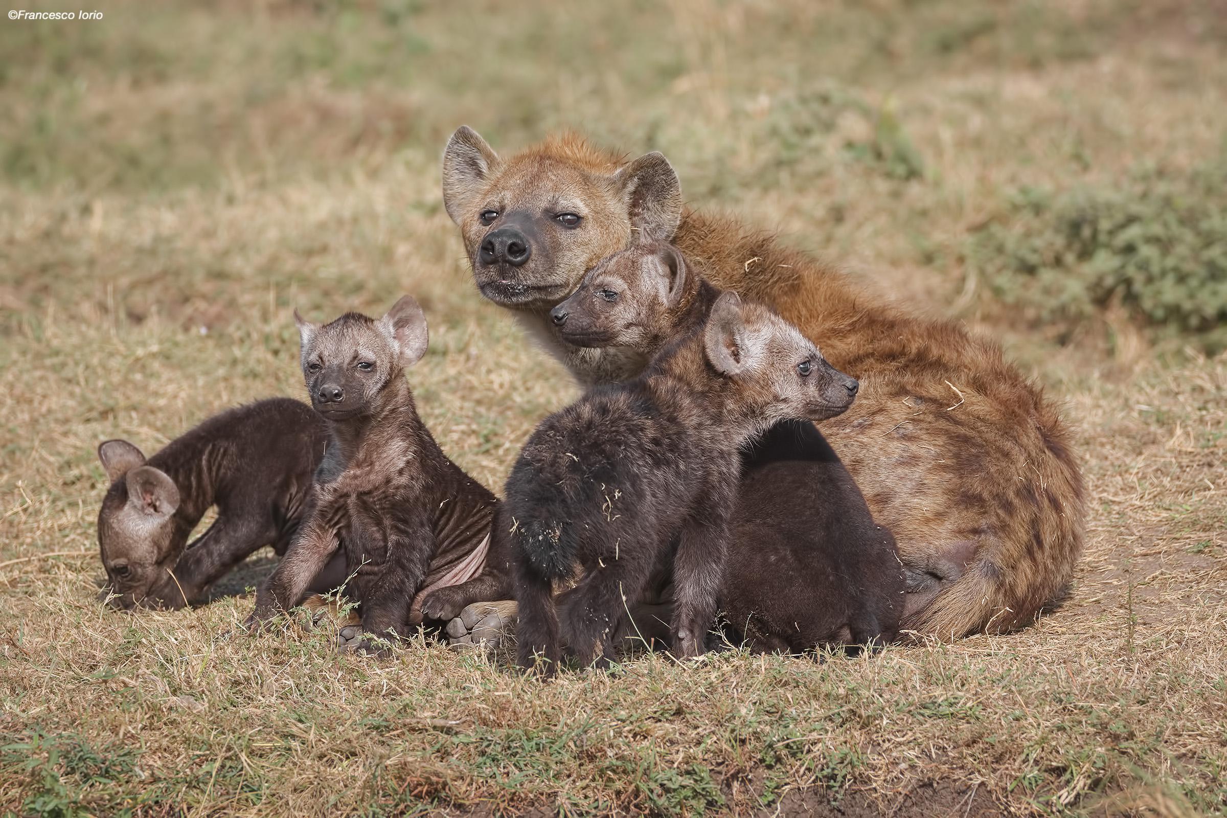Family of Hyenas...